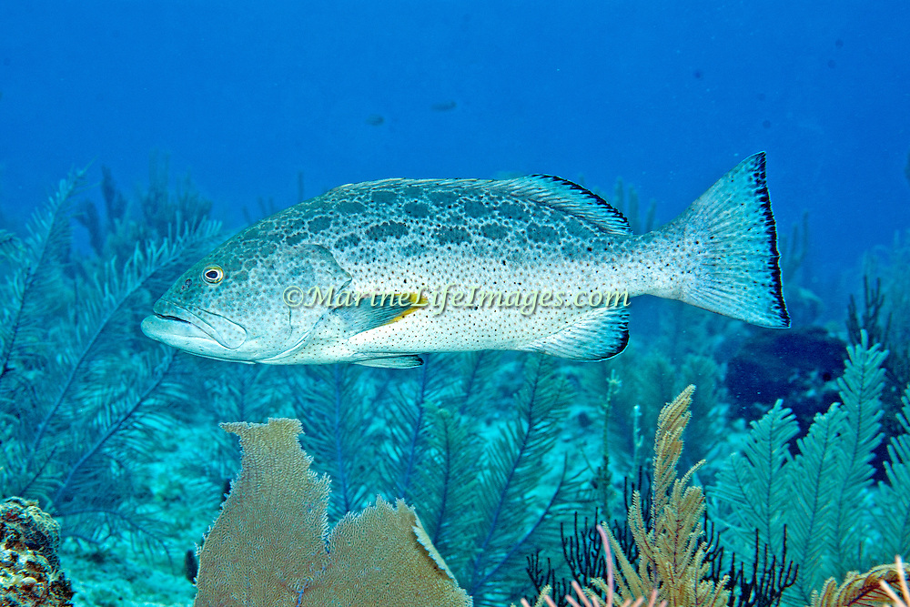 Yellowfin Grouper inhabit reefs in Tropical West Atlantic; picture taken Little Cayman.
