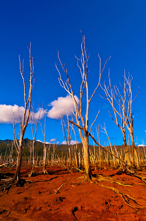 Foret Noyee (The Drowned Forest), Reserve Naturelle de la Riviere Bleue (Blue River Provincial Park), Grand Terre (the big island), New Caledonia.