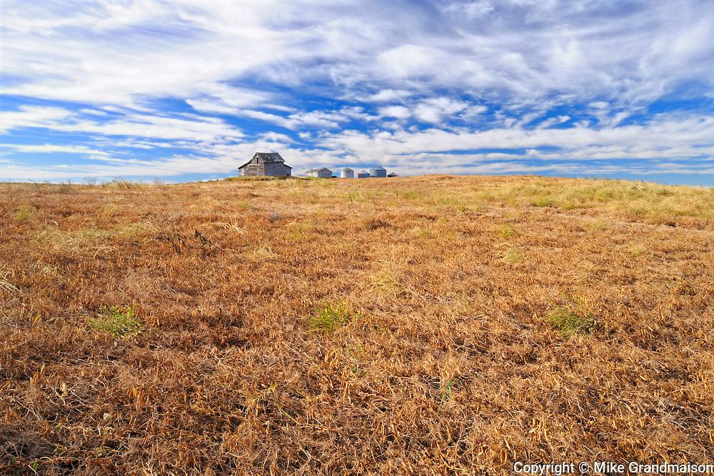 Yellow peas and old homestead<br /> Kyle<br /> Saskatchewan<br /> Canada