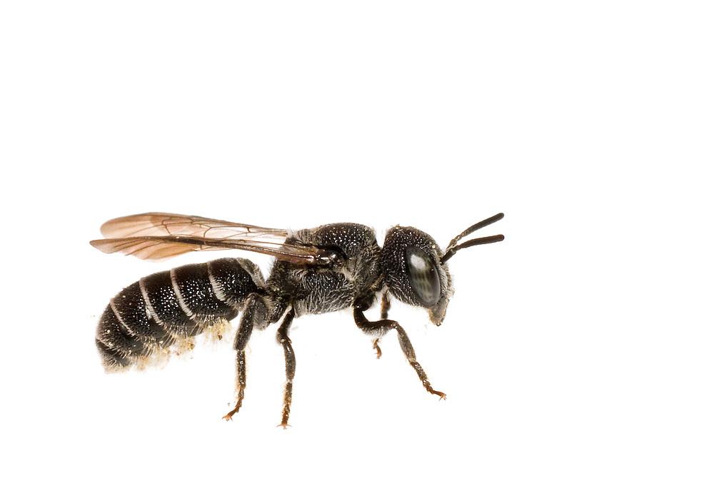 Mason Bee, Heriades sp (Neotrypetes) (potentially H. carinatus), South Carolina, USA
