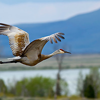 Sandhill crane,  Red Rock Lakes National Wildlife Refuge, Montana.