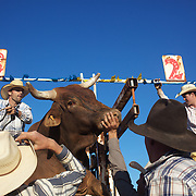 Cowboy's struggle to keep a bull in the chute as it struggles before competition during the Bull Riding Event at the Branxton Rodeo at Branxton, Hunter Valley,  New South Wales, Australia, on Saturday 17th October 2009.  Photo Tim Clayton.