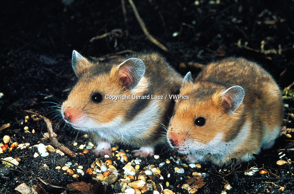 Golden Hamster, mesocricetus auratus, Adults Eating