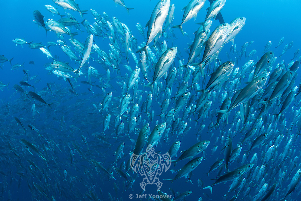 Schooling Bigeye Jacks rise from the depths<br /> <br /> <br /> Shot at Cocos Island, Costa Rica