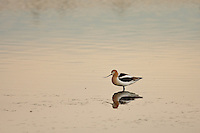 This is the first Avocet of the season for me.  It's a good sign that the Spring Migration is in full swing!..©2009, Sean Phillips.http://www.Sean-Phillips.com