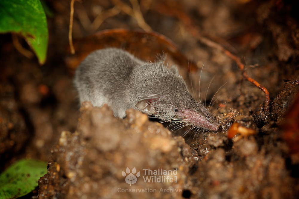 The Etruscan shrew (Suncus etruscus) is the smallest mammal in the world by weight. It weighs only two grams, or less than the weight of a dime. It can grow to a length ranging between 1.5 to 2 inches and that's not including its tail, which is one third of its body length. When you add the tail, it stretches to approximately 2.3 inches.