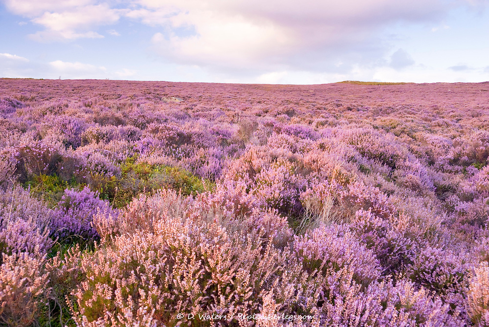 Derbyshire, UK - Aug 2015: Pink heather in flower on Hathersage Moor on 28 Aug near Burbage South Edge, Peak District