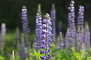 Flowering Blue Lupin. Photographed in Slovakia