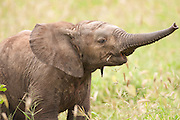 Young African elephant (Loxodonta africana). Photographed in Tanzania