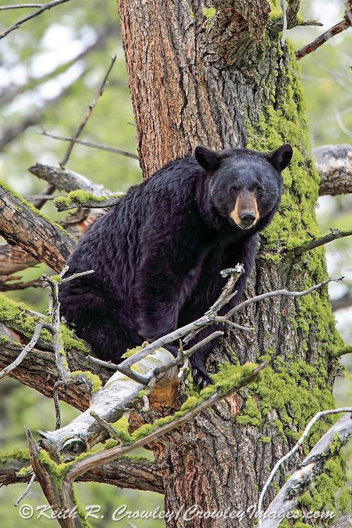 Adult Black bear in a large, moss-covered tree.