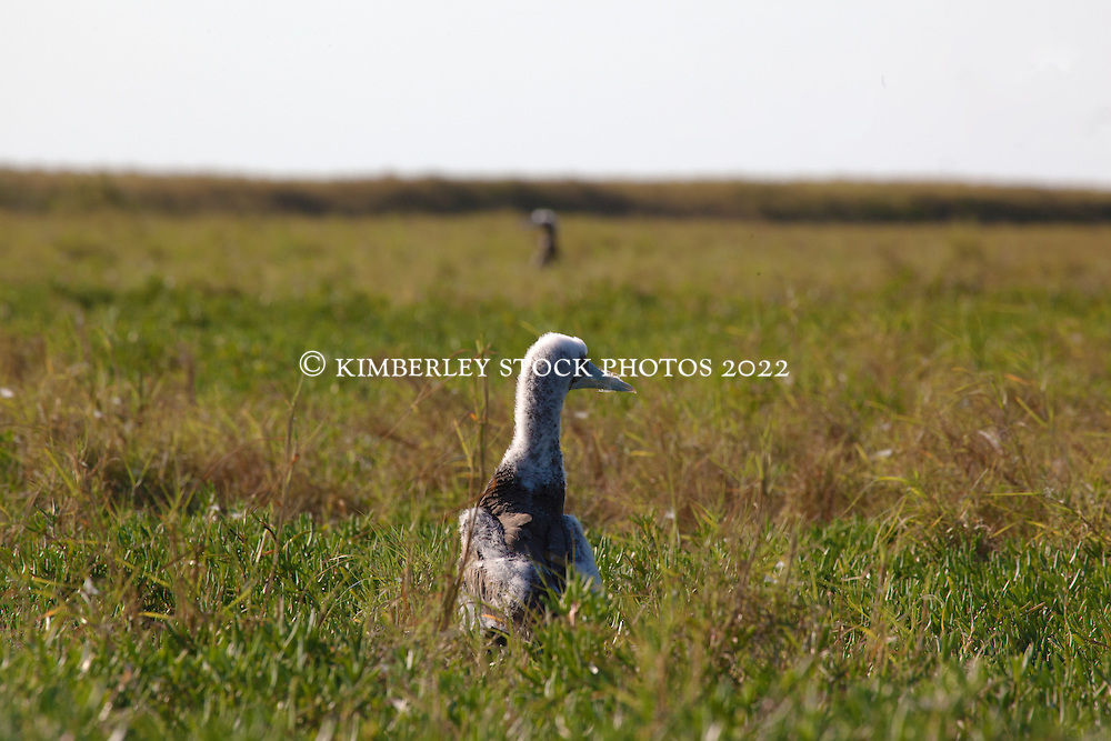 A young Brown Booby (Sula leucogaster) rests in coastal grassland on Adele Island on the remote Kimberley coast.  The chick is still shedding the last of its down.