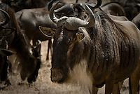 Blue Wildebeest Herd in the Ngorongoro Crater, Tanzania