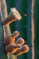 Cardon Cacti flowert and bee on Isla San Esteban in the Gulf of California in Baja California Sur, Mexico.
