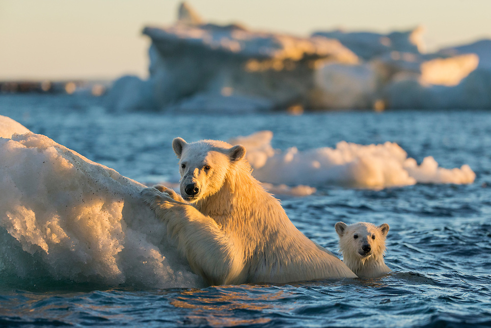Canada, Nunavut Territory, Repulse Bay, Polar Bear and young cub (Ursus maritimus) cling to melting sea ice at sunset near Harbour Islands