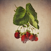 There is something about simply seeing a strawberry. For many of us, the act of just looking at a strawberry can draw a fascinating reaction. It can certainly make you hungry. At the same time, strawberries also have a unique ability to be deeply tied to certain memories. All of these concepts are explored in this fine art piece.<br />