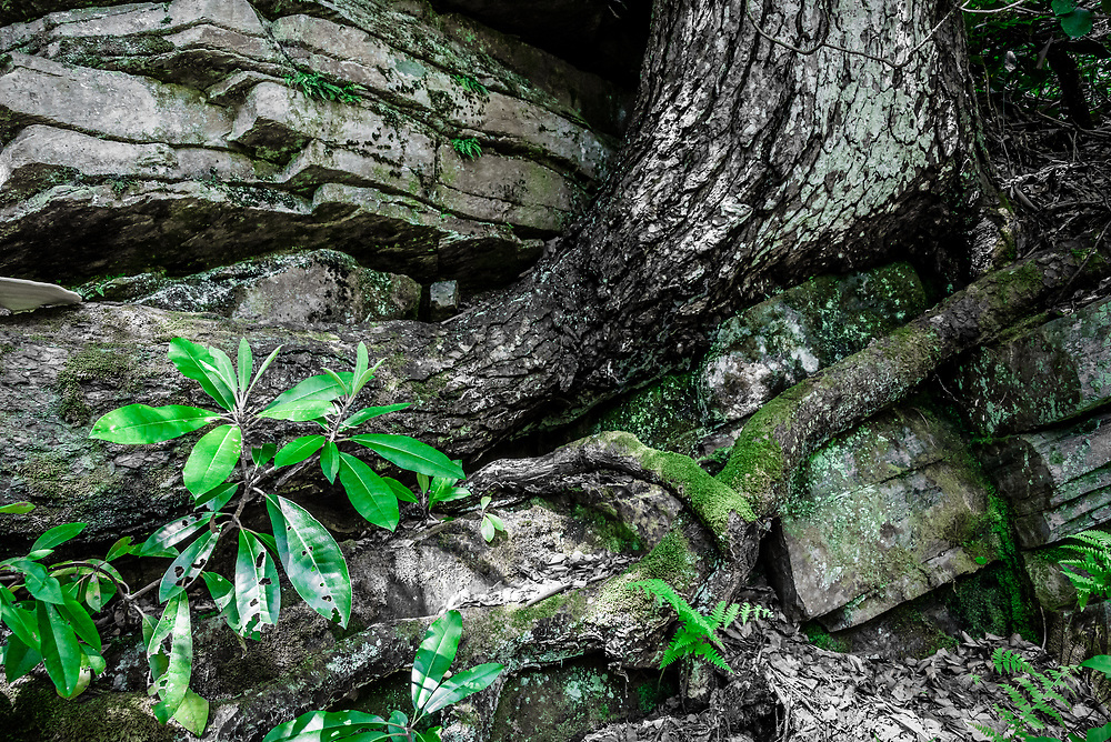 Rock formation, Rhododendron and root composition along the Pine Gap Trail in Linville Gorge, North Carolina
