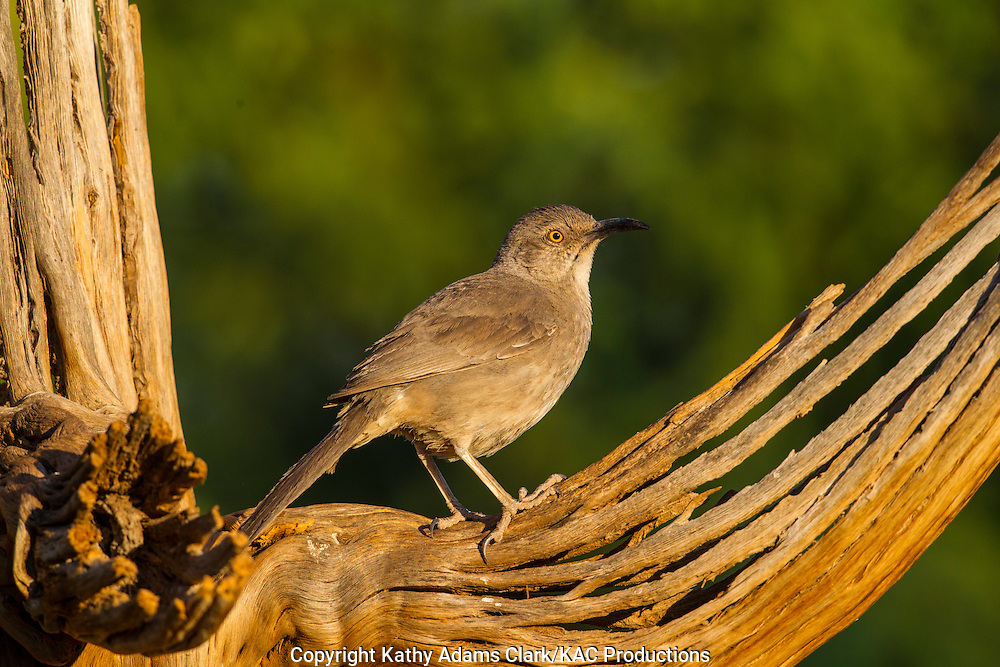 Curve-billed thrasher; on the skeleton of an old saguaro cactus, Sonoran Desert; Southern Arizona; Summer; Toxostoma curvirostre