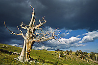 This dead Bristlecone  pine tree resists decay due to the high concentration of resin canals.  Windy Ridge, Colorado.