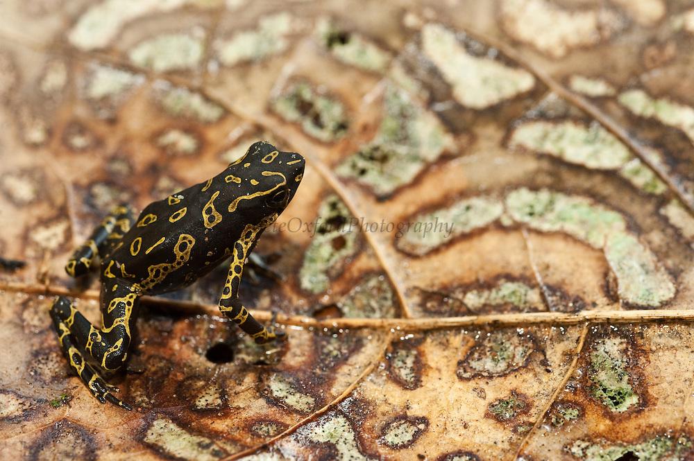 Pebas Stubfoot Toad (Atelopus spumarius)<br /> Mapari River<br /> Rupununi<br /> GUYANA<br /> South America<br /> Native to: Brazil, Colombia, Ecuador, French Guiana, Guyana, Peru &amp; Suriname