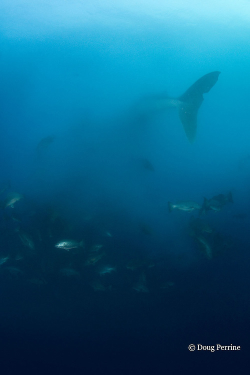 whale shark, Rhincodon typus, swims into spawn cloud to filter feed on eggs of spawning cubera snappers, Lutjanus cyanopterus, in spawning aggregation at Gladden Spit & Silk Cayes Marine Reserve, off Placencia, Belize, Central America ( Caribbean Sea )