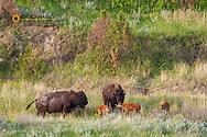 Bison with newborn calves in Theodore Roosevelt National Park, North Dakota, USA