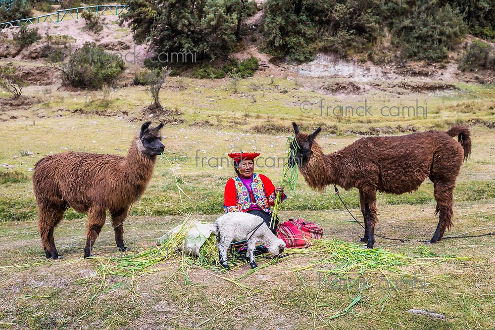 Cuzco, Peru - July 13, 2013: woman feeding alpacas and sheep near Tambomachay Incas ruins in at Cuzco Peru on july 13th, 2013