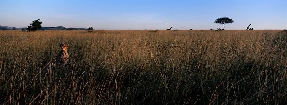 Africa, Kenya, Masai Mara Game Reserve, Cheetah (Acinonyx jubatas) sits in tall savanna grass near giraffe on hillside at sunset
