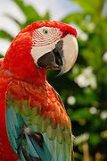 Red-and-green Macaw ( Ara chloroptera)
