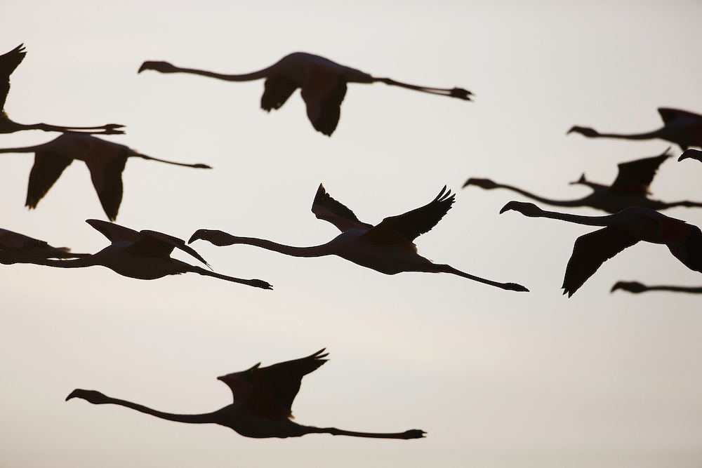 Greater Flamingos (Phoenicopterus roseus) in flight, silhouetted against bright sky,  Camargue, France