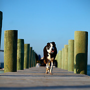 A dog walks on a dock on Portsmouth Island, NC.
