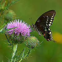 Black Swallowtail Butterfly on Thistle Bloom. Sourland Mountain Preserve, Summer Nature in New Jersey. Image taken with a Nikon D3s and 300 mm f/2.8 VR lens + TC-E III 20 teleconverter (ISO 640, 600 mm, f/16, 1/500 sec). Raw image processed with Capture One Pro 6, Nik Define, and Photoshop CS5.