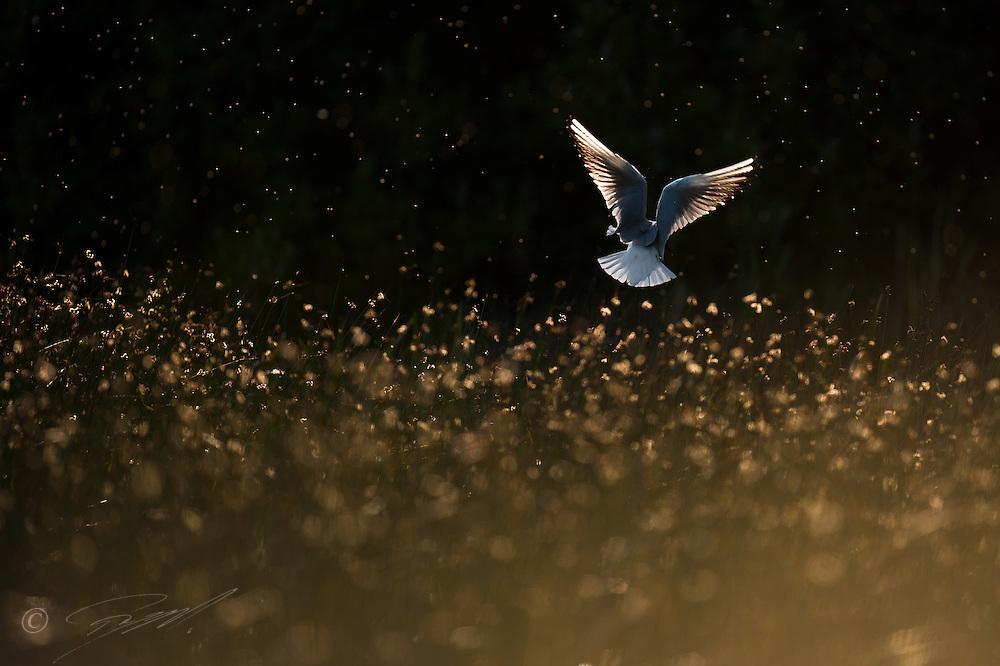 """Hettemåke, Larus ridibundus, lander på hekkeplassen i takrørskogen ved Mosvatnet, Stavanger. Motlys om ettermiddagen. Forside på boken """"MOsvatnet og Stokkavatnet - en guide til fugler og dyr""""."""