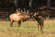 A bull elk chases a female during the fall rut in the Cataloochee Valley of the Great Smoky Mountains National Park in Cataloochee, North Carolina.