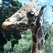 Giraffes at Santa Barbara Zoo.Santa Barbara,CA.