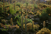Saguaro (tall) and ocotillo (spindly) cacti outside Tucson, Arizona, USA.