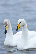 Pair of Whooper Swan, Cygnus cygnus, iat Welney Wetland Centre, Norfolk, UK