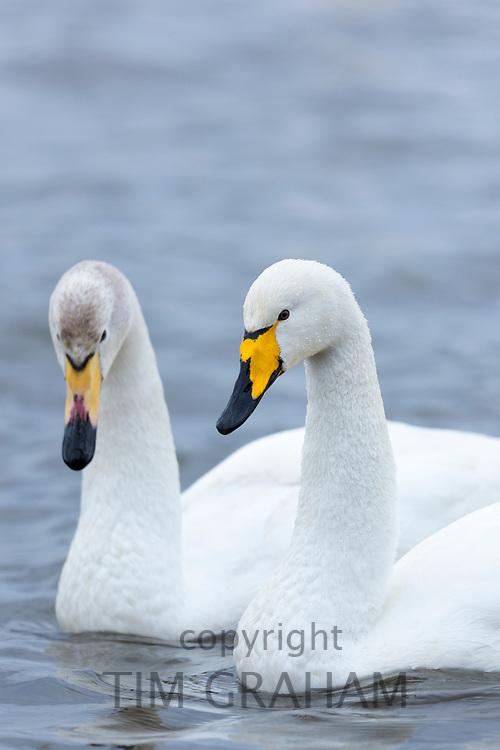 Pair of Whooper Swan, Cygnus cygnus, iat Welney Wetland Centre, Norfolk, UK