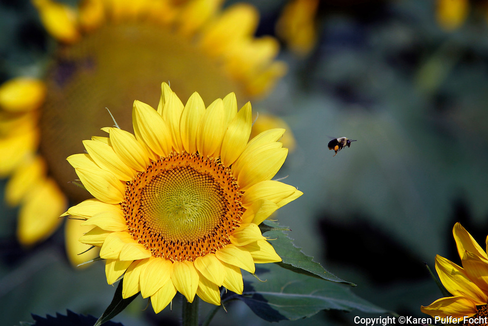 Sunflowers and bees.