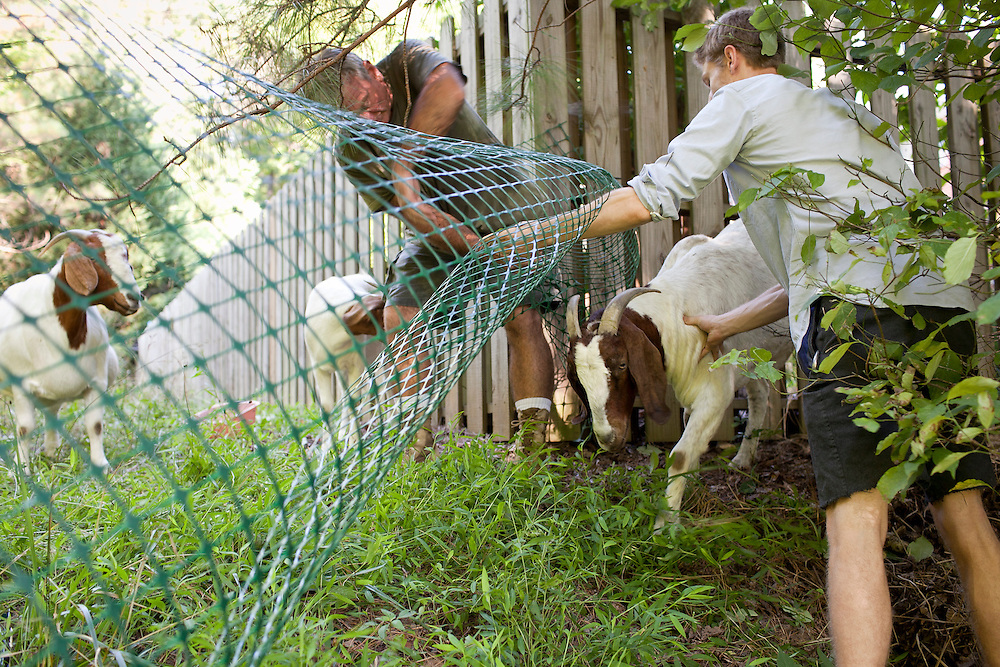 "Farmer Jeff Mullins, left, and Rent-A-Goat Owner Matthew Richmond, right, work together to corral ""Tiny"" after the goat slipped between the fencing while clearing a lot-side easement in Chapel Hill, N.C., Thurs., July 22, 2010...D.L. Anderson for The Wall Street Journal..GOATS"