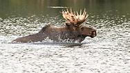 Bull Moose swimming across the lake