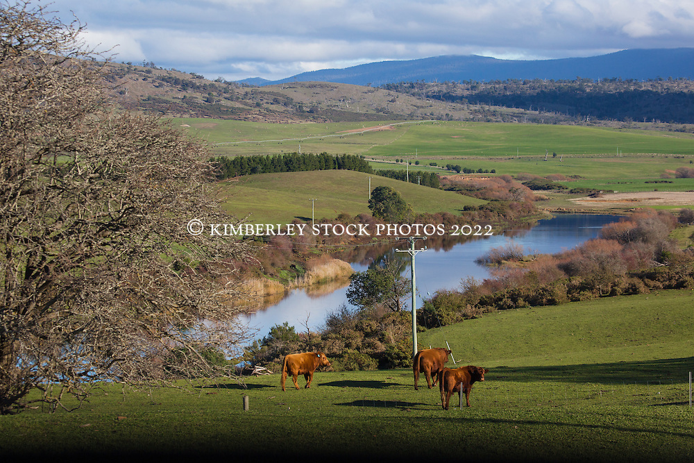 Cattle graze near Powranna in Tasmania's northern Midlands.