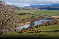 Cattle graze near Powranna in Tasmania's northern Midlands.