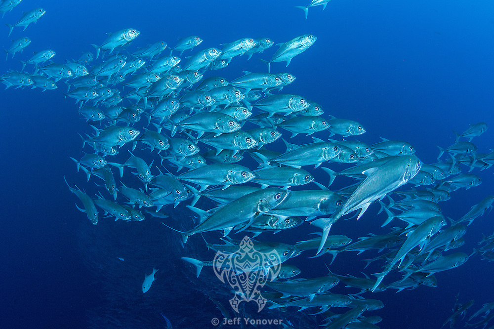 Schooling Bigeye Jacks come up from the deep<br /> <br /> <br /> Shot at Cocos Island, Costa Rica