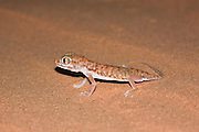 "The Stenodactylus petrii or dune gecko or ""frog-eyed"" gecko. is a small, mostly nocturnal dwarf gecko of the genus Stenodactylus. They are found across northern Africa and in Israel in arid regions. From head to base of tail, they are about 2-3 inches (5-8 cm) long,"