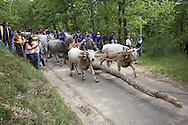 An ancient ritual of fertility still takes place every year in the Basilicata region. The so-called Maggio, the marriage of the king and queen of the forest, unfolds over a few days every Pentecost in the village of Accettura.<br /> The first act of the ritual, the cutting of the king, takes place about 20km from the village, where an enormous tree is cut down, the top is sawn off and the tree is transported back to the village by oxen. It is accompanied by the men of the village, who stop every few miles to drink, dance, feast and be merry. <br /> <br /> A few days later, the queen is fetched from equally far away and brought to the village, carried on the backs of the men this time, with ceremonial drinking and festivity. <br /> <br /> Once both trees have been brought to the village, the queen, also called the cima or top, is hoisted on top of the truncated king. This union represents the marriage of the two principles of male and female, which gives birth in turn to the new life that springs forth in spring. Until the 1960s, animals used to be hoisted into the top of the trees as sacrifices to the powers of the forest.<br /> <br /> How exactly the locals reconciled this pagan sacrifice with the cult of Saint Julian (to whom the celebration is dedicated) and with the celebration of Pentecost remains a mystery.<br /> <br /> Curiously, these days the super-tree is also used for target practice, while few villagers will admit to attributing any magical powers to the giant totem. The tradition is still practiced, however, as it attracts scholars and tourists, giving the tiny area a place on the map of Italy.
