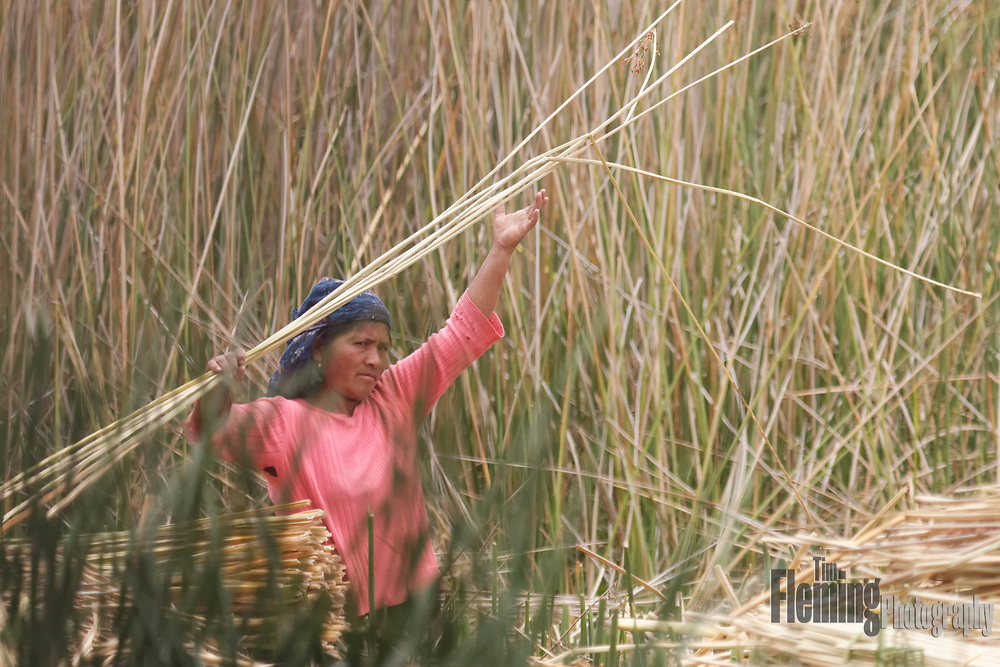 Totora is used to make boats (balsas) of the bundled dried plant reeds.