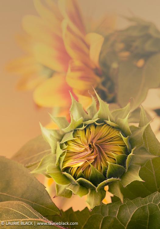 Fine art photograph of Sunflower