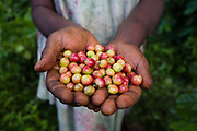 The coffee industry is an important economical boost for Tanna residents, it's grown, harvested and prepared for sales in a small factory near Lenakel.