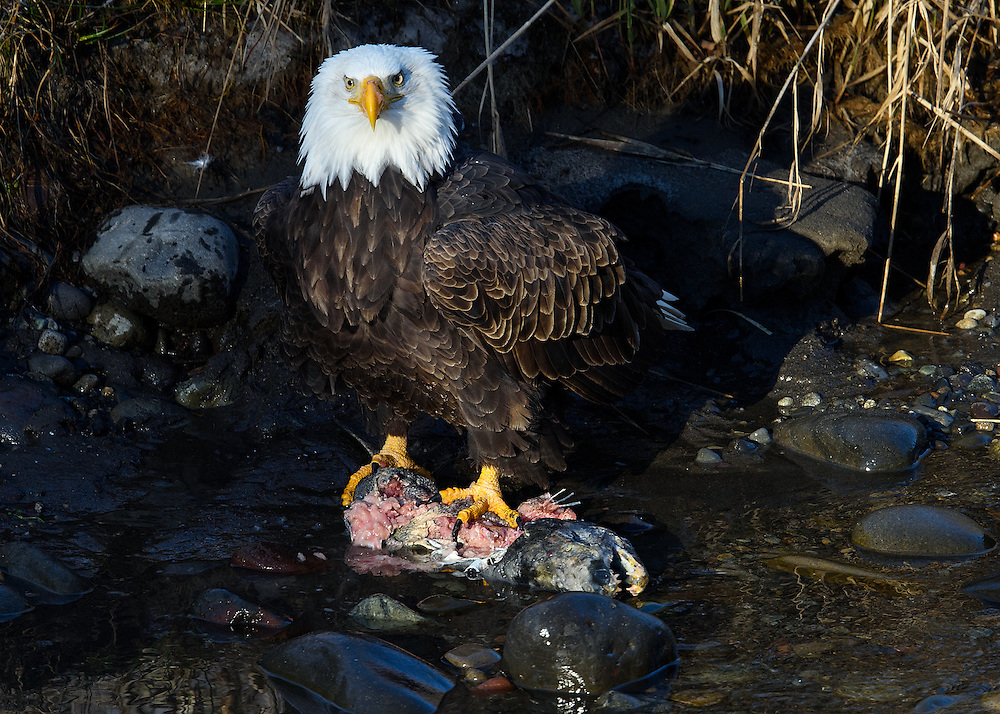 Wintering bald eagle feasting on salmon on the Nooksack River, Deming, Washington