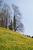 Switzerland. Springtime. Hillside covered with dandelions.